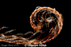 Young crinoid tentacle by Giuseppe Piccioli 
